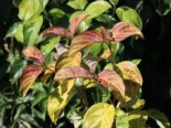 Cornus florida 'Pumpkin Patch'
