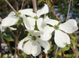 Amerikanischer Blumen-Hartriegel 'Cherokee Princess', 60-80 cm, Cornus florida 'Cherokee Princess', Containerware
