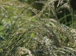 Amerikanischer Strandhafer / Blauer Strandhafer, Ammophila breviligulata, Topfware