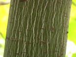 Amerikanischer Streifen-Ahorn, 60-80 cm, Acer pensylvanicum, Containerware