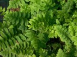 Amerikanischer Weihnachtsfarn, Polystichum acrostichoides, Topfware