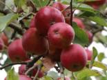 Apfel Redlove ® 'Era', 80-100 cm, Malus domestica Redlove ® 'Era', Containerware