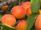 Aprikose 'Bergeron', Stamm 40-60 cm, 120-160 cm, Prunus armeniaca 'Bergeron', Containerware