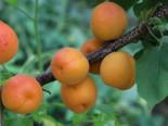 Aprikose 'Kioto' ®, Stamm 40-60 cm, 140-160 cm, Prunus armeniaca 'Kioto' ®, Containerware