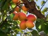 Aprikose 'Kuresia' ®, Stamm 40-60 cm, Prunus armeniaca 'Kuresia' ®, Containerware