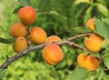 Aprikose 'Mombacher Frühaprikose', Stamm 40-60 cm, 120-160 cm, Prunus armeniaca 'Mombacher Frühaprikose', Containerware