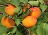 Aprikose Orangered