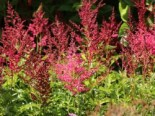 Arends-Prachtspiere 'Astary Red' ®, Astilbe x arendsii 'Astary Red' ®, Topfware