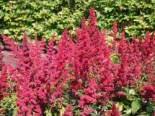 Arends Prachtspiere 'Fanal', Astilbe x arendsii 'Fanal', Topfware