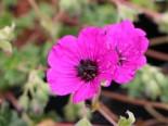 Aschgrauer Storchschnabel 'Purple Pillow', Geranium cinereum 'Purple Pillow', Topfware