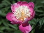 Asiatische Edel-Pfingstrose 'Bowl of Beauty', Paeonia lactiflora 'Bowl of Beauty', Topfware