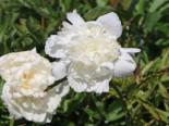 Asiatische Pfingstrose 'Boule de Neige', Paeonia lactiflora 'Boule de Neige', Topfware