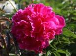 Asiatische Pfingstrose 'Felix Crousse', Paeonia lactiflora 'Felix Crousse', Topfware