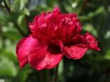 Asiatische Pfingstrose 'Inspecteur Lavergne', Paeonia lactiflora 'Inspecteur Lavergne', Topfware