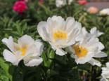 Asiatische Pfingstrose 'Krinkled White', Paeonia lactiflora 'Krinkled White', Topfware