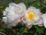 Asiatische Pfingstrose 'Lady Alexandra Duff', Paeonia lactiflora 'Lady Alexandra Duff', Topfware