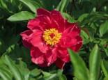 Asiatische Pfingstrose 'Louis van Houtte', Paeonia lactiflora 'Louis van Houtte', Topfware