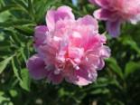 Asiatische Pfingstrose 'Monsieur Jules Elie', Paeonia lactiflora 'Monsieur Jules Elie', Topfware