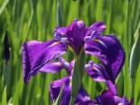 Asiatische Sumpf-Schwertlilie, Iris laevigata, Topfware