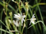 Astlose Graslilie, Anthericum liliago, Topfware