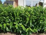 Aufrechter Kirschlorbeer / Lorbeerkirsche 'Herbergii', 40-60 cm, Prunus laurocerasus 'Herbergii', Containerware