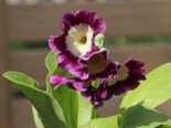 Aurikel, Primula x pubescens, Topfware