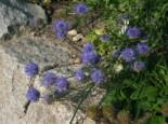 Ausdauerndes Sandglöckchen 'Blaulicht', Jasione laevis 'Blaulicht', Topfware