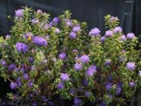 Rhododendron 'Blaufeder', 30-40 cm, Rhododendron russatum 'Blaufeder', Containerware