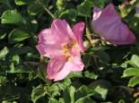 Bodendecker-Rose 'Dagmar Hastrup', Rosa rugosa 'Dagmar Hastrup', Containerware