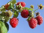 Himbeere 'Malling Promise', 60-100 cm, Rubus idaeus 'Malling Promise', Wurzelware