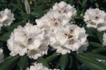 Rhododendron 'Great Dane', 20-25 cm, Rhododendron rex 'Great Dane', Containerware