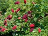 Brombeere 'Tayberry ® Medana', 30-40 cm, Rubus 'Tayberry ® Medana', Containerware