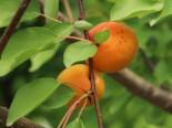 Aprikose 'Temporao de Villa Franca', Stamm 40-60 cm, 120-160 cm, Prunus armeniaca 'Temporao de Villa Franca', Wurzelware