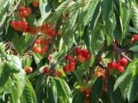 Süsskirsche Büttners Rote Knorpel