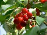 Süßkirsche 'Frühe Rote Meckenheimer', Stamm 40-60 cm, 120-160 cm, Prunus 'Frühe Rote Meckenheimer', Wurzelware