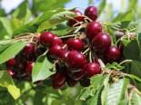 Süßkirsche 'Merchant', Stamm 40-60 cm, 120-160 cm, Prunus 'Merchant', Wurzelware