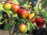 Pflaume 'Königin Viktoria', Stamm 40-60 cm, 120-160 cm, Prunus domestica 'Königin Viktoria', Wurzelware