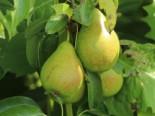 Herbstbirne 'Condo', Stamm 40-60 cm, 120-160 cm, Pyrus communis 'Condo', Wurzelware