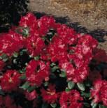Rhododendron 'Frühlingsglühen', 20-25 cm, Rhododendron hirtipes 'Frühlingsglühen', Containerware