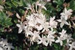 Rhododendron 'Sommerduft', 30-40 cm, Rhododendron viscosum 'Sommerduft', Containerware