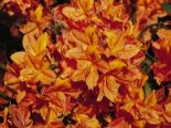 Laubabwerfende Azalee 'Sunny Boy', 30-40 cm, Rhododendron luteum 'Sunny Boy', Containerware