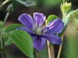 Clematis integrifolia 'Blue Boy'