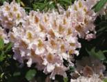 Rhododendron 'Matterhorn', 40-50 cm, Rhododendron Hybride 'Matterhorn', Containerware