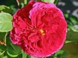 Englische Rose 'Auslo', Rosa 'Auslo', Wurzelware