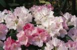 Rhododendron 'Pink Parasol', 20-25 cm, Rhododendron yakushimanum 'Pink Parasol', Containerware