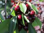 Süßkirsche 'Johanna', Stamm 40-60 cm, 120-160 cm, Prunus 'Johanna', Wurzelware