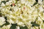 Rhododendron 'Bob Bovee', 20-25 cm, Rhododendron yakushimanum 'Bob Bovee', Containerware