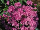 Rhododendron 'Regal', 30-40 cm, Rhododendron carolinianum 'Regal', Containerware