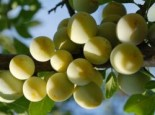 Pflaume 'Ontariopflaume', Stamm 40-60 cm, 120-160 cm, Prunus 'Ontariopflaume', Containerware