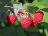 Himbeere 'Glen Ample', 40-60 cm, Rubus idaeus 'Glen Ample', Containerware